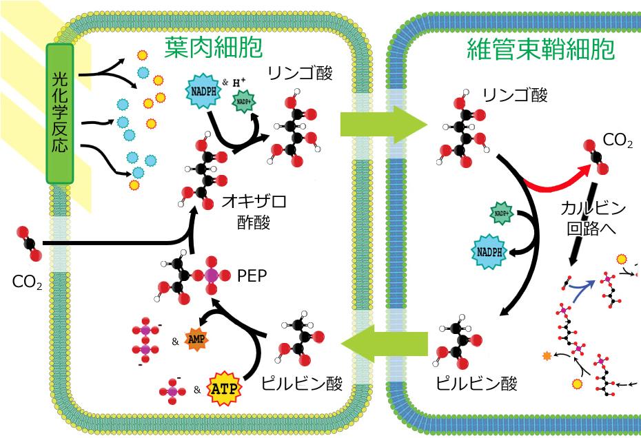 酸 ホスホ エノール ピルビン