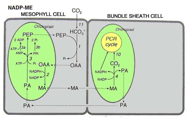 リンゴ 酸 アスパラギン 酸 シャトル