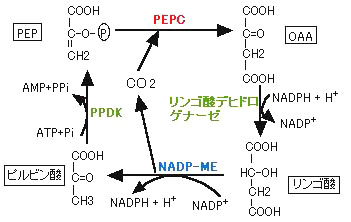 C4サブタイプの光合成回路の違い